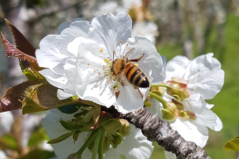 saaa_almond_blossum_bees_crop