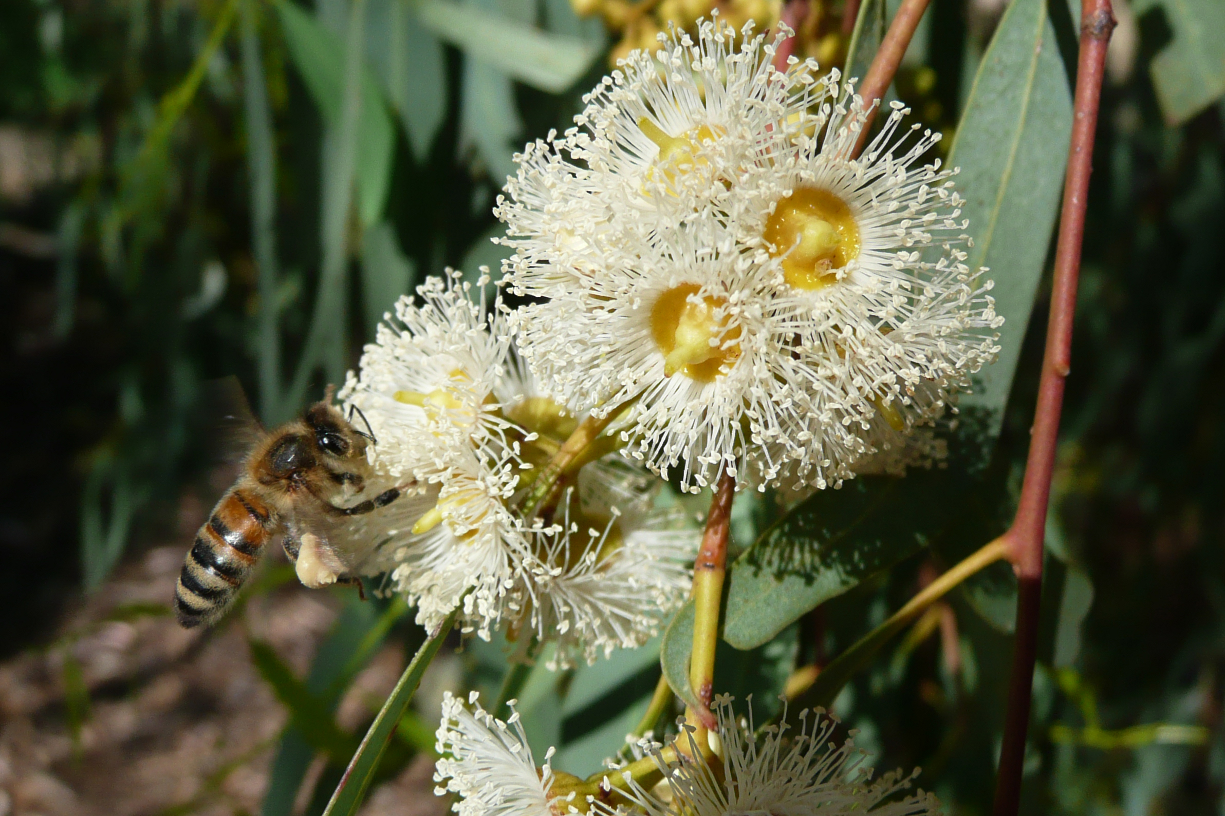 Read more about the article National Eucalypt Day & Bees: Tuesday 23 March, 2021